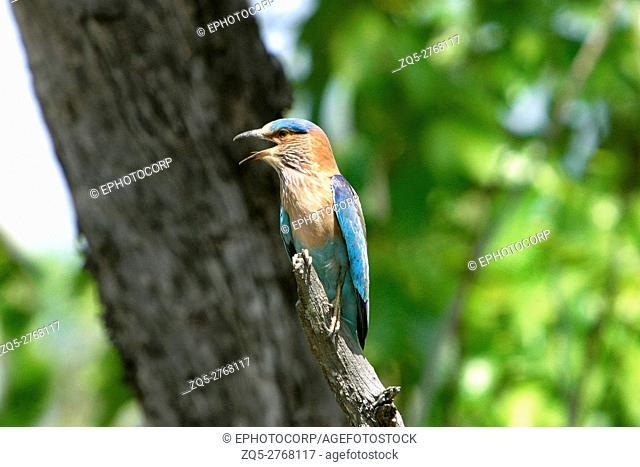 Blue jay or Indian roller, coracias benghalensis, Kanha National Park, Madhya Pradesh, India