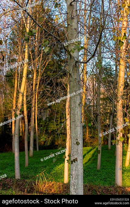 Poplar grove in the Italian countryside in autumn at sunset time
