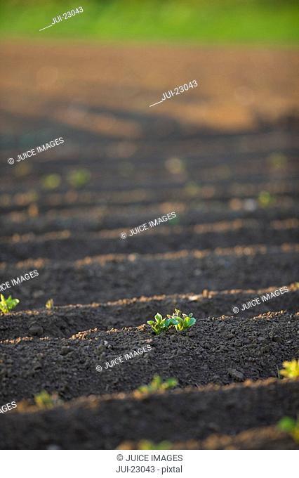 Close up of potato seedlings