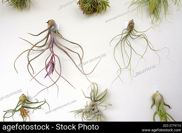 Group of plants of the genus Tilandsia hanging on a wall. Barcelona. Catalonia. Spain