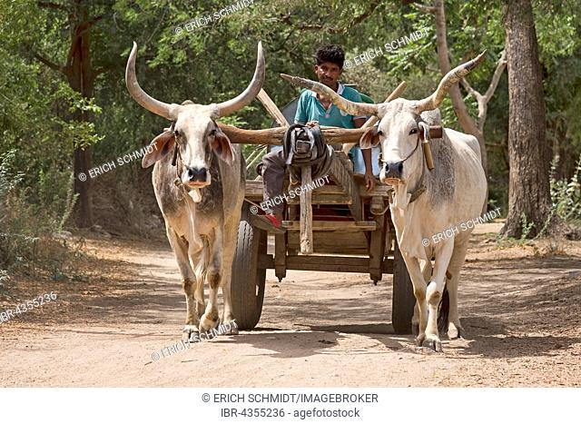 Zebu cattle, zebu or hump cattle (Bos primigenius indicus) with trailer on the road, Rajasthan, India