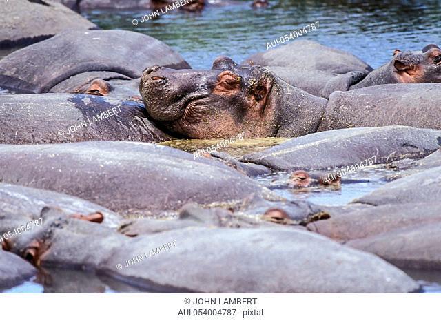 africa, tanzania, serenti national park, group of hippos