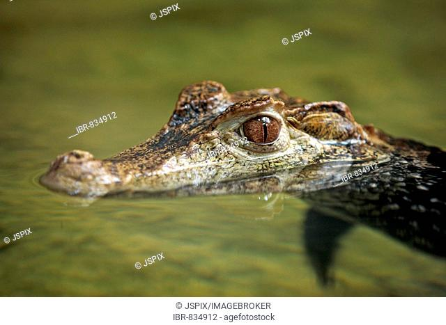 Cuvier's Dwarf Caiman (Paleosuchus palpebrosus), adult, portrait, swimming in water, native to South America
