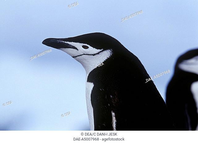 Zoology - Birds - Sphenisciformes - Chinstrap penguin (Pygoscelis antarcticus), detail. Antarctica, Half Moon Island