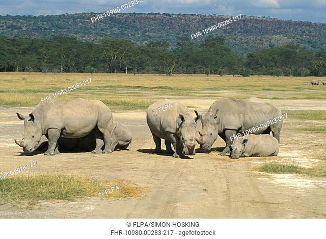 White Rhinoceros Ceratotherium simium Family group at Lake Nakuru