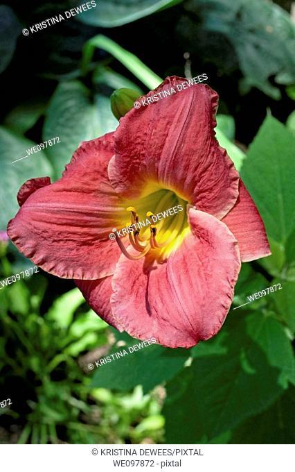 A single pink daylily with a yellow eye