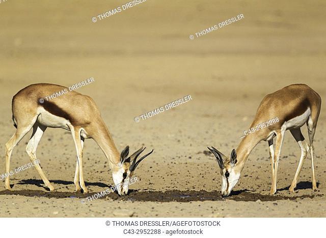 Springbok (Antidorcas marsupialis). 2 Females, drinking at a waterhole. Kalahari Desert, Kgalagadi Transfrontier Park, South Africa