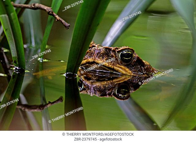 Rhinella marina. Cane toad in a pond. Kaw mountain. French Guiana