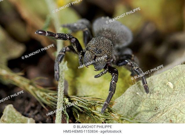 France, Araneae, Eresidae, Ladybird Spider (Eresus kollari), female