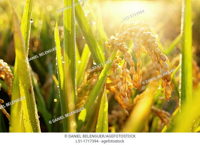 Rice ears, Sueca, Albufera de Valencia Nature Reserve , Valencia, Spain