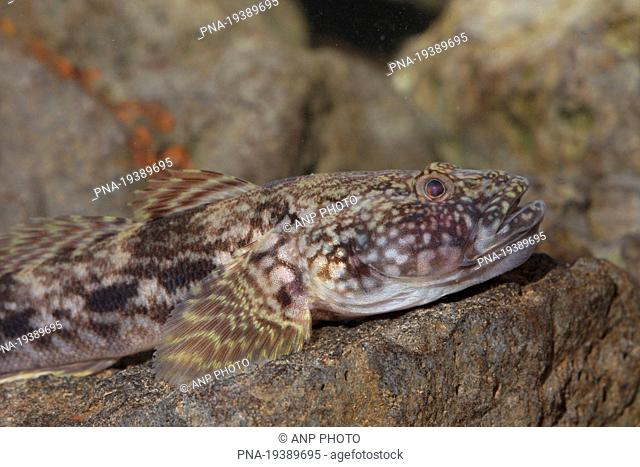 Bighead goby Neogobius kessleri - IJssel, Olst, Salland, Overijssel, The Netherlands, Holland, Europe