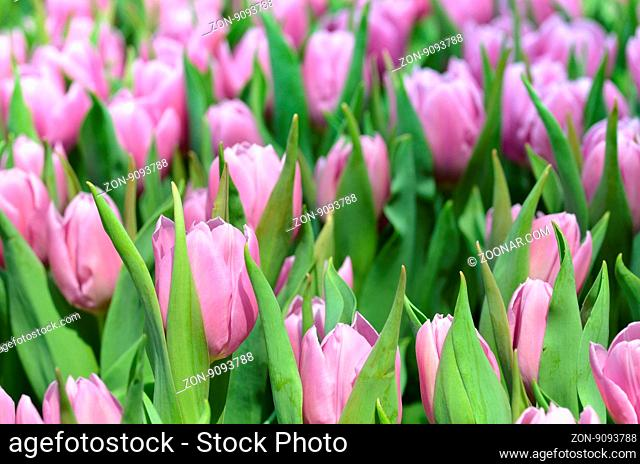 Beautiful close up of tulips in Gardens by the Bay, Singapore