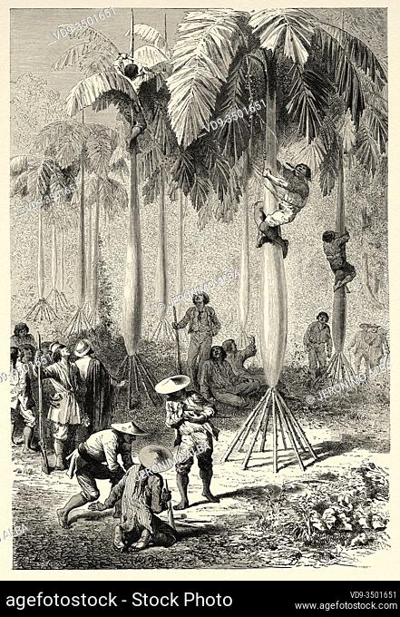 Palmito heart of palm harvest, Peru. South America. Trip to the Valley of the Quinas by Paul Marcoy. Old engraving El Mundo en la Mano 1878