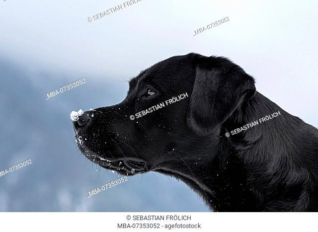 Head of a black labrador in profile, snowflakes lying on the tip of the nose, in the background clouds and mountains