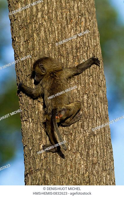 Kenya, Masai Mara National Reserve, Olive baboon (Papio hamadryas anubis), young going down from a tree