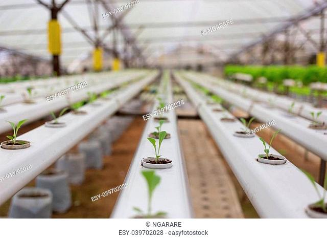 Hydroponics vegetable in Green House