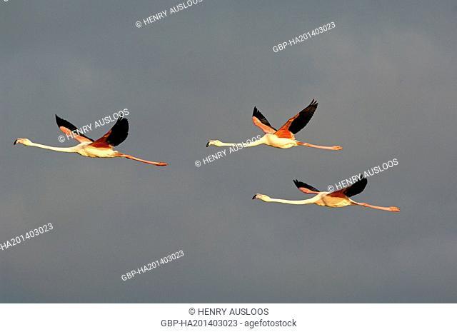 Greater Flamingo, Phoenicopterus roseus, flying