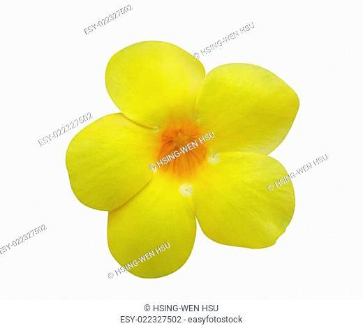 Allamanda flower isolated on white