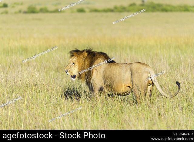 African lion, Panthera Leo, male, Masai Mara National Reserve, Kenya, Africa