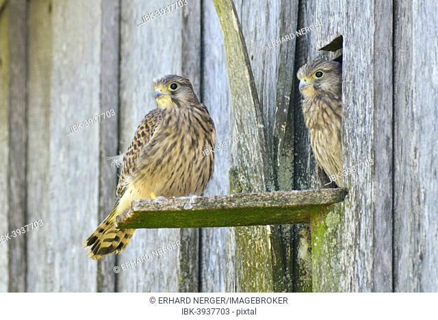Common Kestrels (Falco tinnunculus), young birds, Emsland, Lower Saxony, Germany