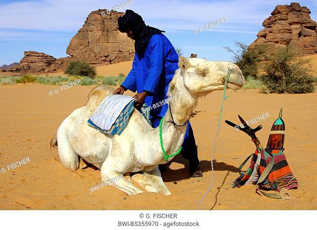 dromedary, one-humped camel (Camelus dromedarius), Tuareg saddling a Mehari dromedary before the ride, Libya, Acacus Mountains