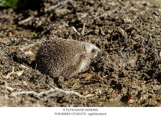 Eastern European Hedgehog also known as the White-Breasted Hedgehog. - Bulgaria
