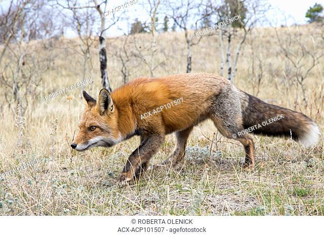 Red fox (Vulpes vulpes), Central Interior, British Columbia