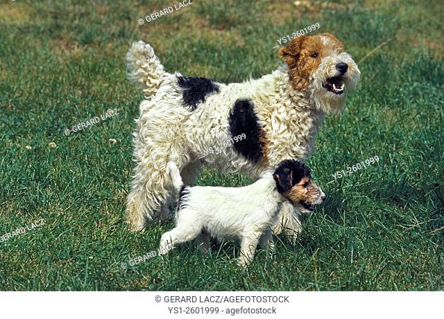 Wire-Haired Fox Terrier, Mother and Pup