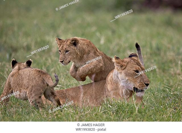 Lion (Panthera Leo) cubs playing, Ngorongoro Crater, Tanzania, East Africa, Africa