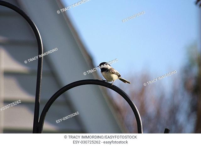 Close up of a Black-capped Chickadee, Poecile atricapillus, perched on a black metal Shepherd's hook stand