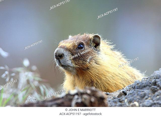 Yellow-bellied marmot Marmota flaviventris, also known as the rock chuck, near Kamloops, BC, Canada