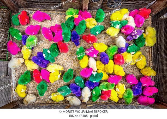 Colourful dyed chicks, little chickens, bird market, Yogyakarta, Java, Indonesia