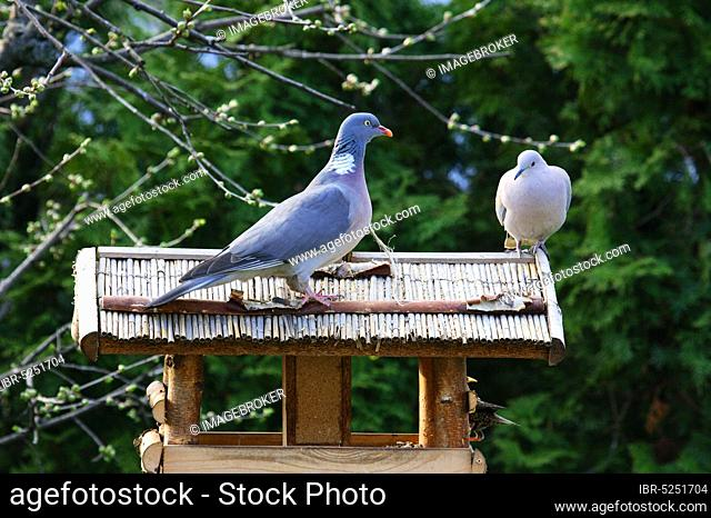 Wood Pigeon and Collared Dove (Streptopelia decaocto), Germany (Columba palumbus)