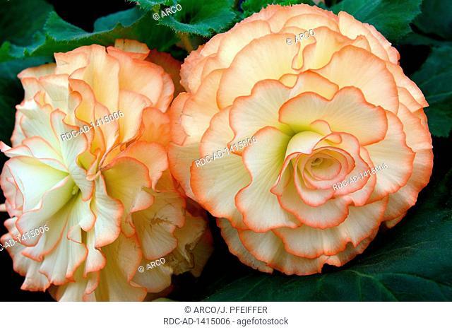 Begonie, Sorte Ruby Young, Begonia spec