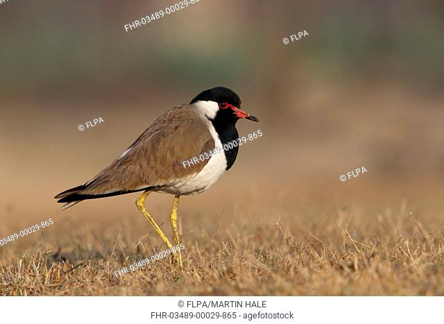 Red-wattled Lapwing (Vanellus indicus) adult, standing in dry grass, Sultanpur, New Delhi, Delhi, India, February