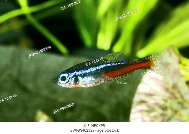 neon tetra (Paracheirodon innesi, Cheirodon innesi, Hyphessobrycon innesi), swimming