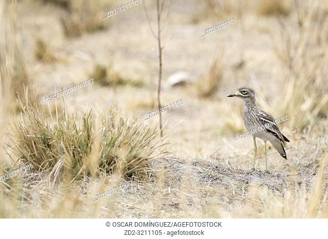 Indian Thick-knee (Burhinus indicus). Corbett National Park. Uttarakhand. India