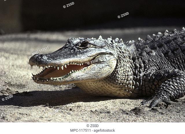 AMERICAN ALLIGATOR (Alligator mississippiensis), SAN DIEGO ZOO