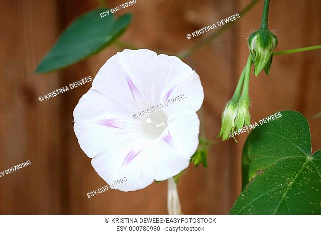 A single Pink Star Morning Glory