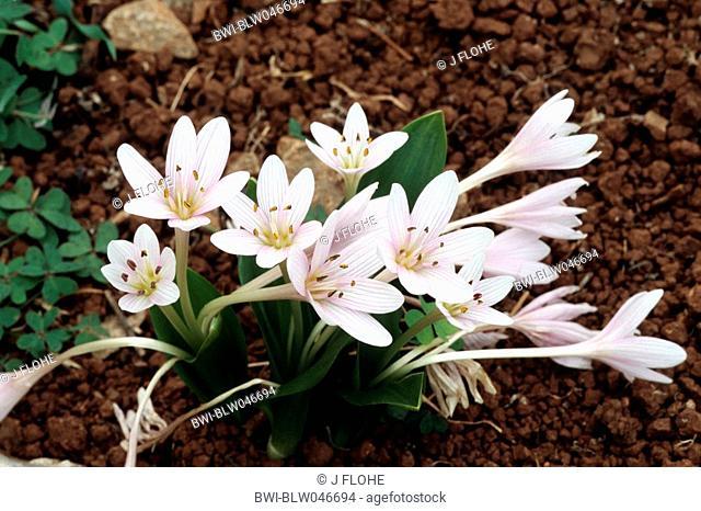 meadow saffron Colchicum cupanii, blooming plants, Greece, Creta