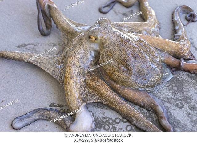 Live octopus on the ground