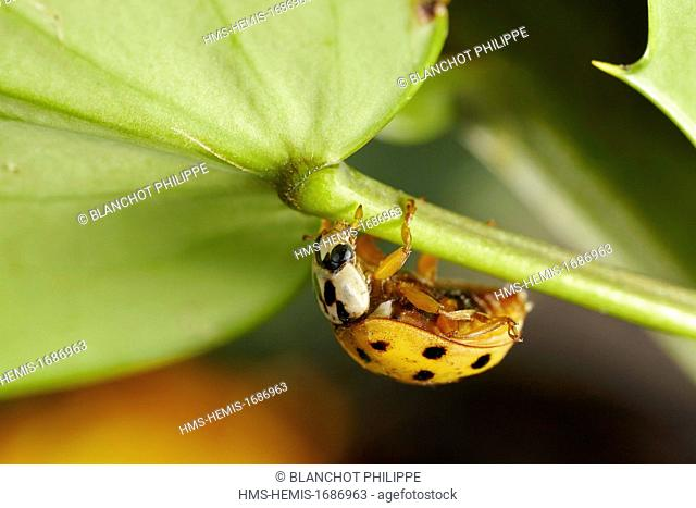 France, Coleoptera, Coccinellidae, Harlequin ladybird, Multicolored Asian lady beetle or Halloween lady beetle (Harmonia axyridis), 5 mm