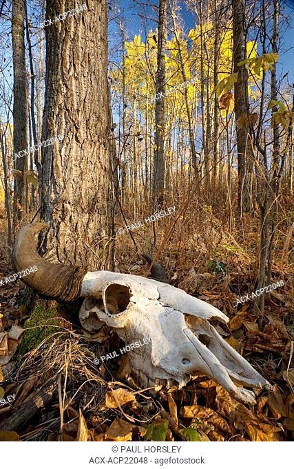 Bison bos bison skull on forest floor during Fall, Elk Island National Park, Alberta