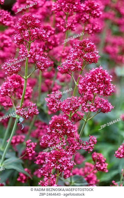 """Centranthus ruber """""""" Coccineus """""""""""