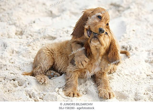 Cocker Spaniel dog - two puppies playing in sand