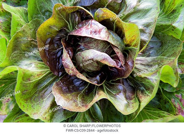 Chicory, Cichorium intybus 'Variegata di Choggia', Overhead view of Italian chicory, with its maroon streaked green leaves and the red radicchio head wirhin
