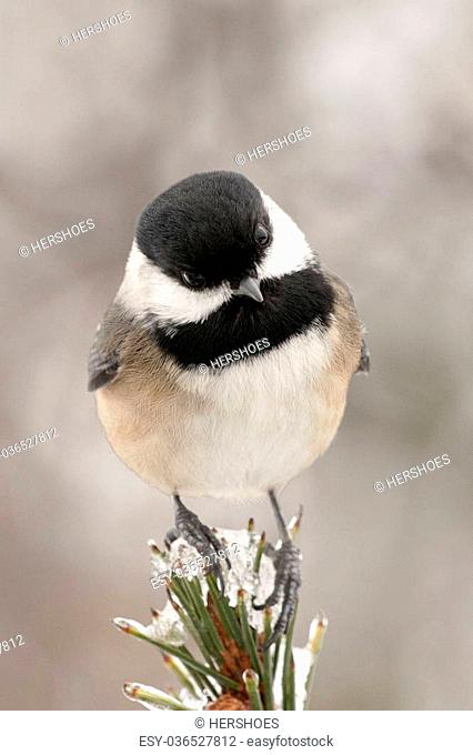 Black Capped Chickadee perched on a icy tree top
