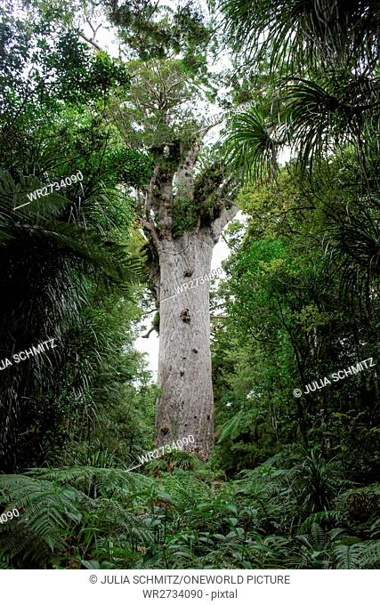 New Zealand, North Island, Northland, Waipoua Kauri Forest, Kauri Forest