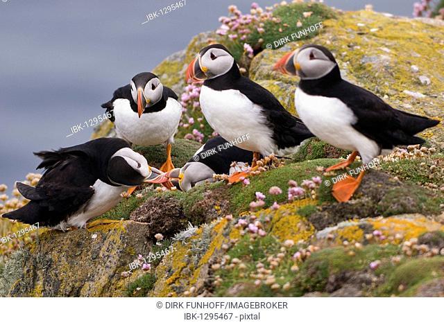 Small argument among Puffins (Fratercula arctica), Fair Isle, Shetland, Scotland, United Kingdom, Europe