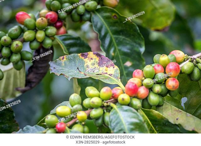 Ripe coffee beans (coffea arabica) on a coffee bush in Aquires, Costa Rica, with leaves that show coffee rust